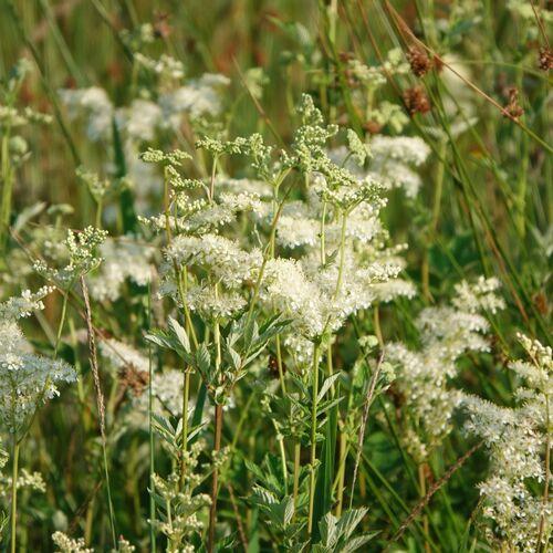 Gėlės pievos vaizdas yra maža subtili balta gėlė