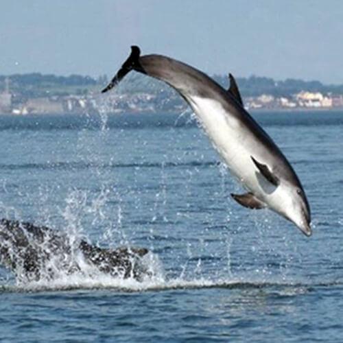 Airijos banginių ir delfinų grupė